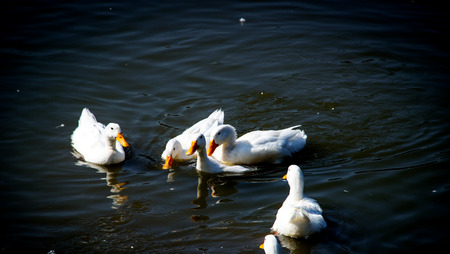 chasing tail: white duck swiming  in pond at zoo