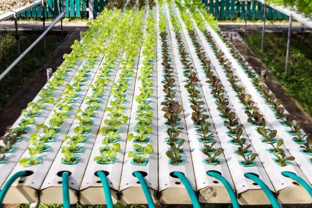 kunststoff rohr: grüne Gemüse in Kunststoffrohr von hydroponischen Konzept