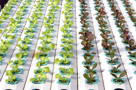 kunststoff rohr: schließen grüne Gemüse in Kunststoffrohr von hydroponischen Konzept bis Lizenzfreie Bilder