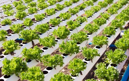 kunststoff rohr: schließen Gemüse in Kunststoffrohr von hydroponischen Konzept im Freien bis Lizenzfreie Bilder
