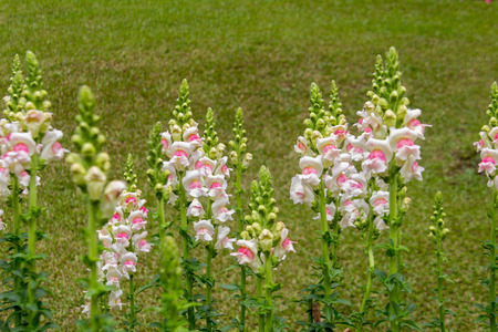 snapdragon: close up snapdragon flower on green grass background in garden Stock Photo