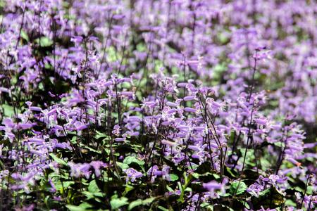 petrea: purple Petrea Flowers in gaden for background