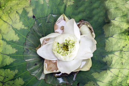 lilia: cutting white lotus on big leaf on water Stock Photo