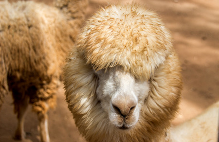 untroubled: close up face of sheep have long hair