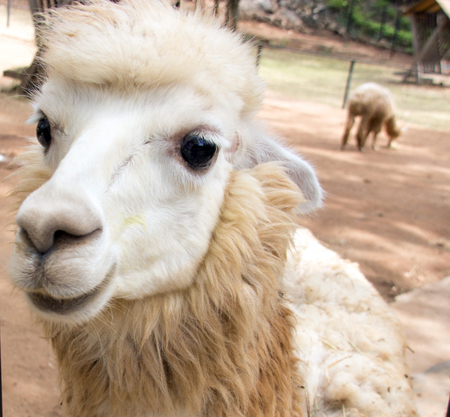 sheep eye: close up face of sheep funny face Stock Photo