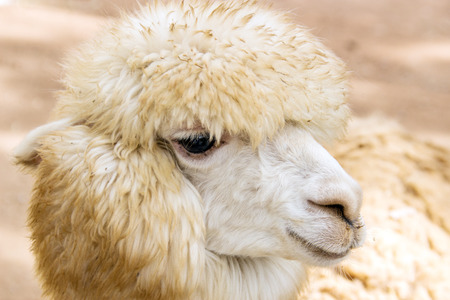 likable: close up face of sheep have long hair