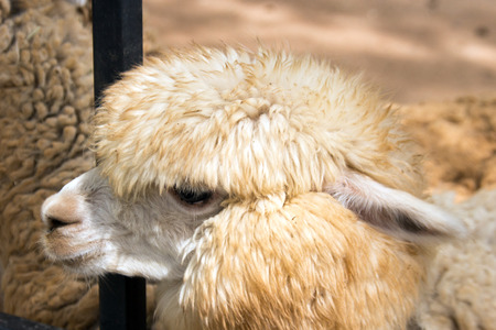 ovine: close up face of sheep have long hair