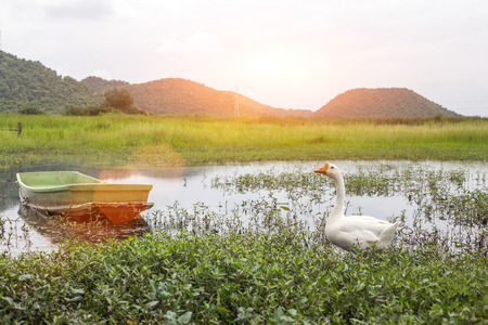 ugly duckling: peaceful white swan animal walk on pond natural landscape summer season show rural agriculture lifestyle