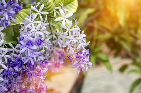 petrea: select focus Sandpaper Vine or  Purple Wreath flower on fresh garden in morning light background