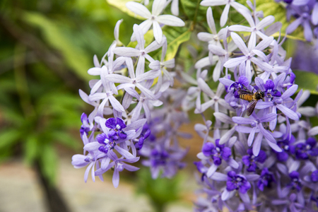 petrea: bee and Sandpaper Vine or  Purple Wreath flower on fresh garden background Stock Photo