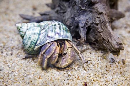 hermit crab exotic pet in aquarium with old wood