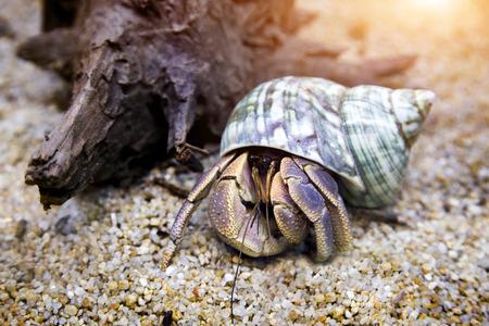 hermit crab exotic pet in aquarium
