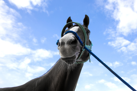 close up nose and mouth of racing horse with rope on blue sky background Stock Photo