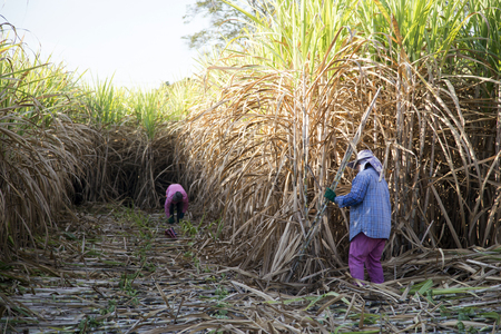 harvest sugarcan in cool season in agriculture life