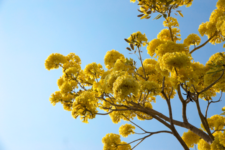 The showy tabebuia tree announces springtime in south florida silver trumpet tree tree of gold paraguayan silver trumpet tree blooming yellow flower mightylinksfo Image collections