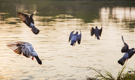 flying bird to fishing on water at sunset time. nature relax background