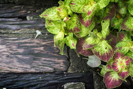 green mint leaf and wet wood on garden Stok Fotoğraf