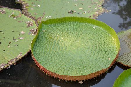 fantastic texture Victoria waterlily flower floating on dark water