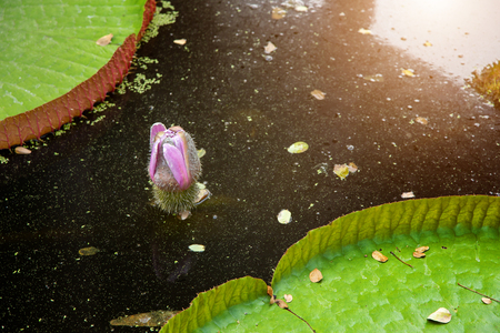 fantastic Victoria waterlily flower floating on dark water. beauty of nature