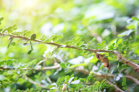 end of pupa larva hanking on branch of tree in morning