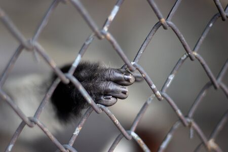 hand of chimpanzee monkety mammal animal catching iron cage. freedom wildlife animal to nature 免版税图像