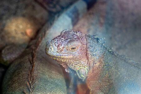 iguana reptile animal in zoo. Wildlife lizard animal.