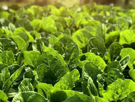 green leaf hydroponic vegetable field with sun light for diet food Reklamní fotografie