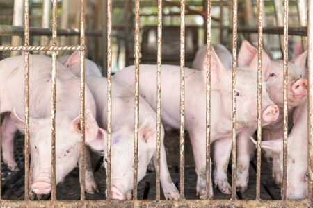piggy face in iron cage in agriculture farm. pig Animal life being food of human world