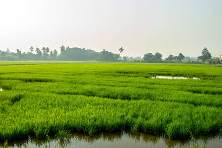 new growth green rice on field with water for agriculture landscape Imagens