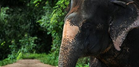 head of elephant in jungle. Elephant is biggest mammal is wildlife animal want go to real forest