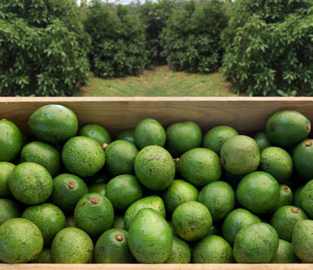 fresh green avocado fruits on wood box from garden field for healty food concept