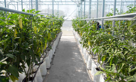 paprika chilli garden in greenhouse in modern agriculture