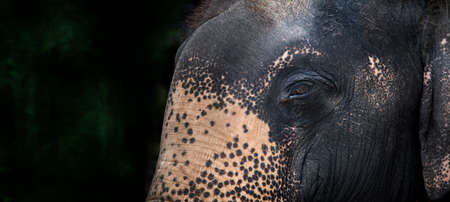 peaceful eye of elephant in banner size. big animal have friendly eye of human