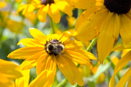 Blooming yellow flowers rudbeckia . Green meadow full of flowers . photo