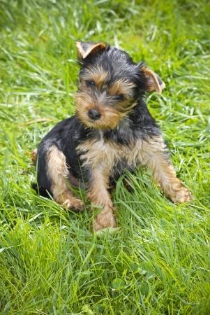 terrier: Yorkshire Terrier portrait on green meadow .