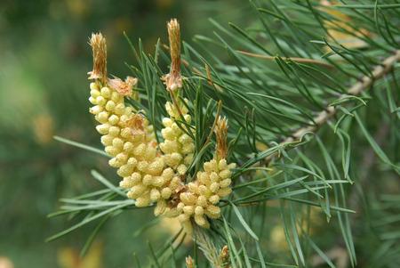 esporas: pine tree with the spores in the spring Foto de archivo