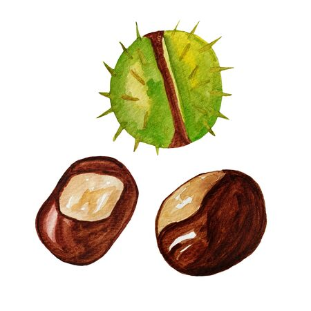 Set of watercolor hand drawn chestnut tree elements. Autumn nuts