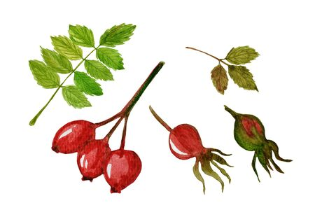 Watercolor set with branch of rose hip or dog rose with green leaves and red berries. Illustration for design, fabric, print or background