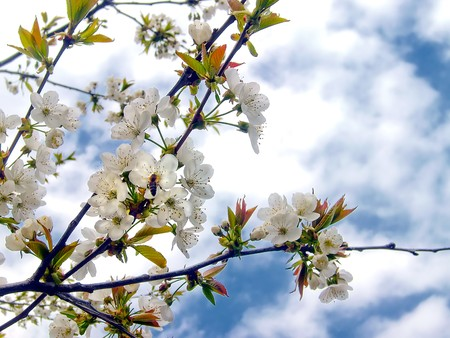 Spring time - a branch of cherry bloom and a hardworking bee. photo