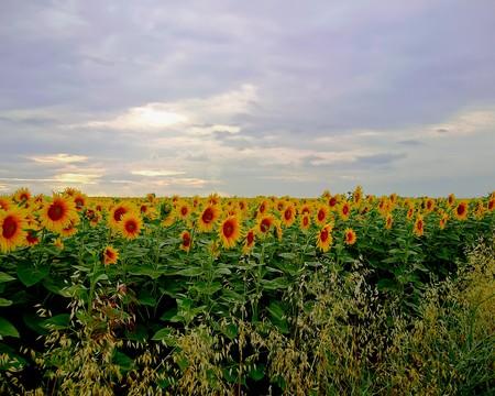 Beautiful sunflowers against a cloudy sky