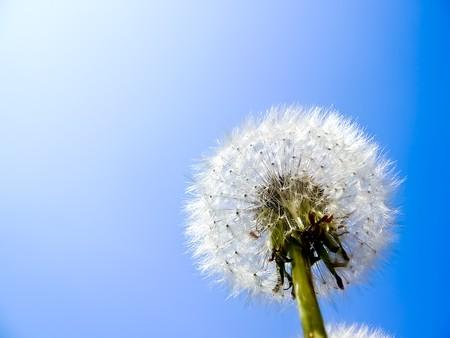 Dandelion against the cloudless blue sky photo