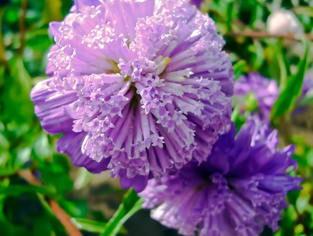 Close up of the purple Aster (Callistephus chinensis) in the garden
