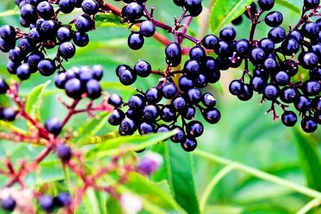 Black Ð•lder berries - dark ripe berries on a background of lush green leaves blurred