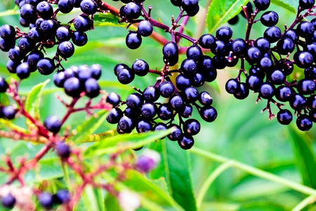 Black Еlder berries - dark ripe berries on a background of lush green leaves blurred