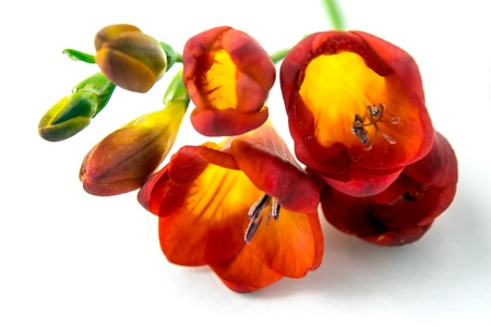 Red freesia on white background photo