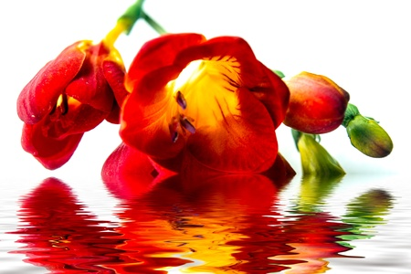 Red freesia on white background and water reflection Stock Photo - 12833917