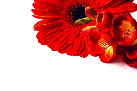 Red gerbera and freesia over white background photo