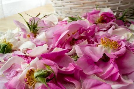 Scattered petal pink Bulgarian oleaginous rose photo