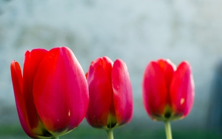Closeup of three red tulips in the garden of the village Stock Photo