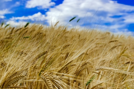secale: Field of ripened rye against the blue sky Stock Photo